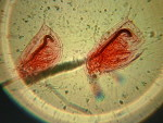 Waterflea